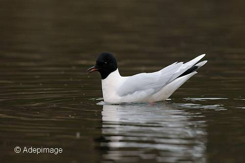 Mouette_pygmee