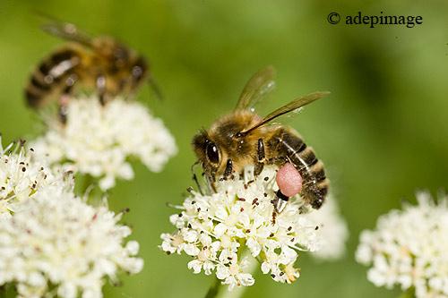 Abeilles-et-pollen