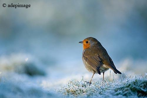 Rougegorge_en_hiver